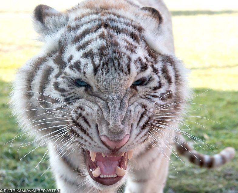 Biały tygrys zagryzł opiekuna. Rodzina zmarłego prosi o litość dla zwierzęcia