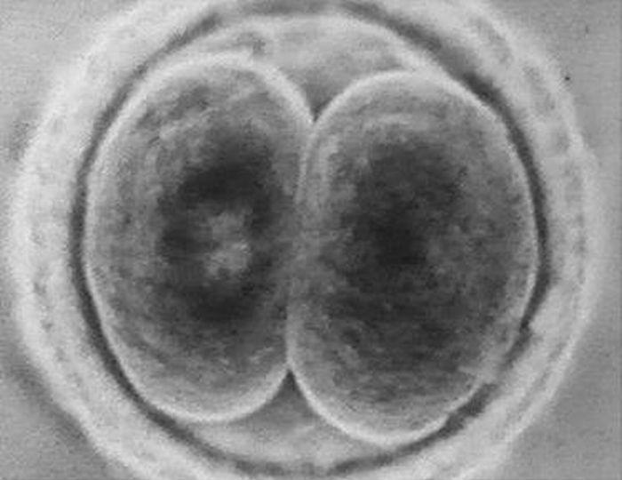 Rozwój zarodkowy człowieka - podział komórki jajowej