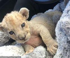 Kolejny lew znaleziony we francuskim domu. To już się robi plaga