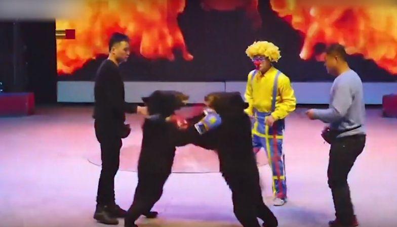 Skandaliczny pokaz w chińskim cyrku. Niedźwiedzie zmuszone do boksowania
