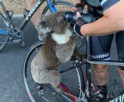 Australia. Spragniony koala zatrzymał rowerzystkę. Poruszające nagranie