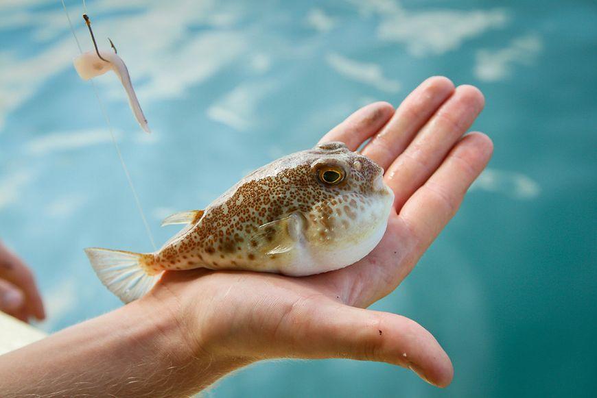 Ryba fugu