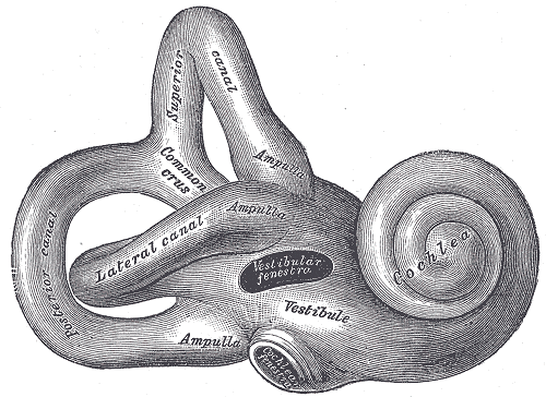 Zdjęcie ucha wewnętrznego
