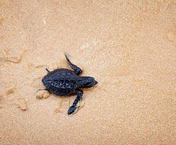 """Coraz mniej """"kobiet"""" wśród żółwi w Ameryce. Wszystkiemu winna rtęć"""