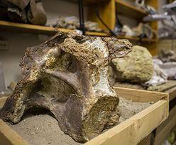 Odkryli nowego dinozaura. Syberyjski tytan był gigantyczny