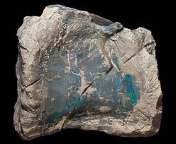 Kości nowego gatunku dinozaurów odkryte w Australii