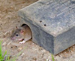 W tej grze szczury skaczą z radości