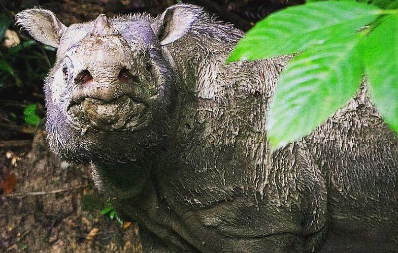 """W Malezji zmarł ostatni nosorożec. """"Opłakujemy śmierć gatunku"""""""