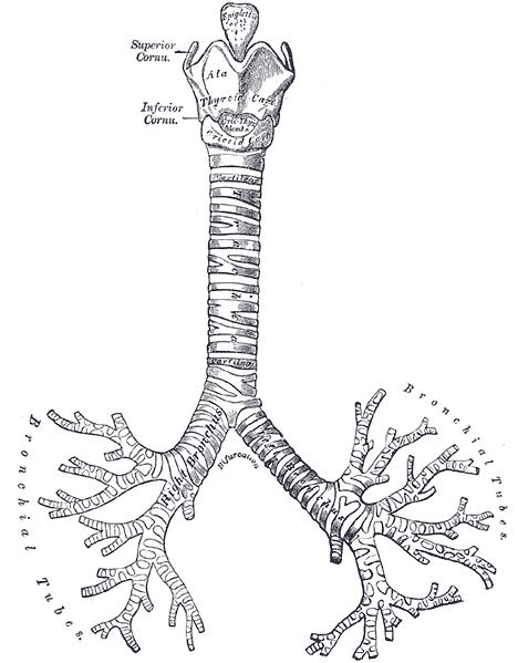 Zdjęcie prezentujące budowę krtani, tchawicy i oskrzeli