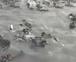 Kłusownicy bestialsko polują na ptaki. Tworzą sztuczne jeziora-pułapki