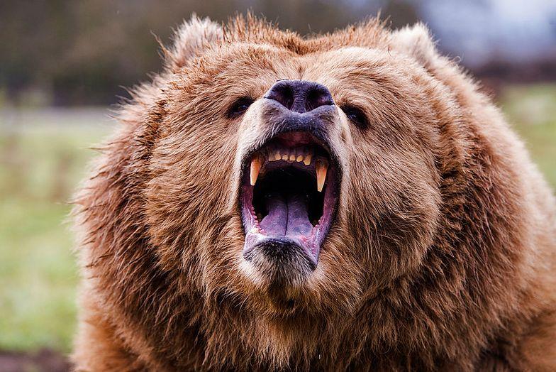 Niedźwiedź grizzly zaatakował Kanadyjczyka. Uratował go scyzoryk