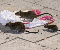 Szczury chodzą po ulicach. Szwedzi nie mogą sobie z tym poradzić