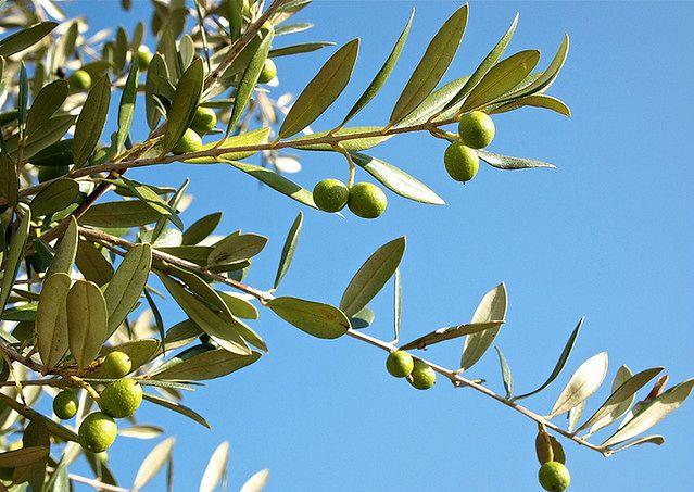 Właściwości zdrowotne oliwy z oliwek